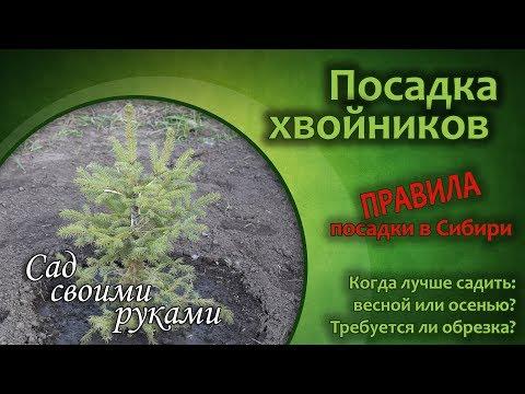 Как и когда сажать хвойники с открытой корневой системой в Сибири? Видео-инструкции