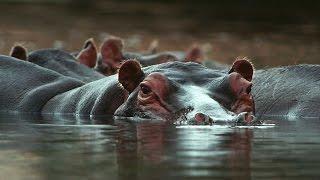 Grandes documentales - Guerra territorial: leones e hipopótamos