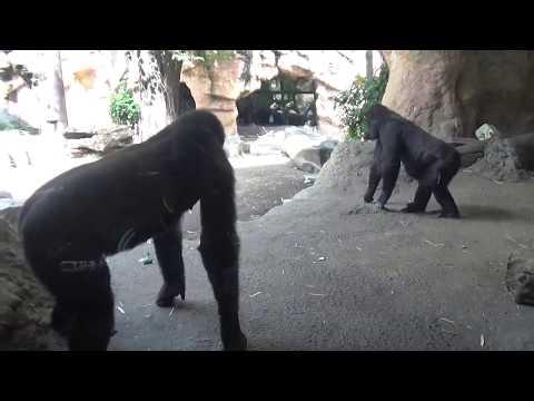 可愛いリキ(1歳)をめぐって小競り合い?お父さん動く ニシゴリラ上野動物園
