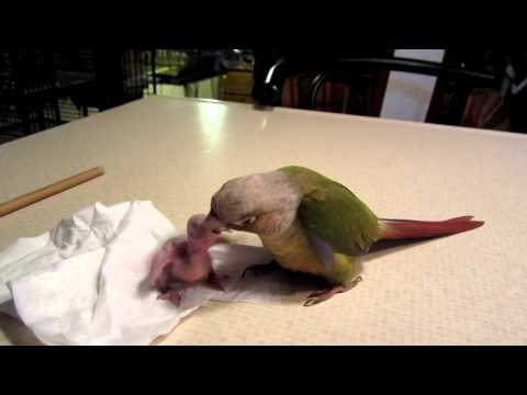 (Precious) Cinnamon Conure Feeding a 7day old Baby gcc