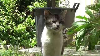 ねこ日記#167 みゃーさんと遊びたくて鳴きまくる白黒猫くん。 thumbnail