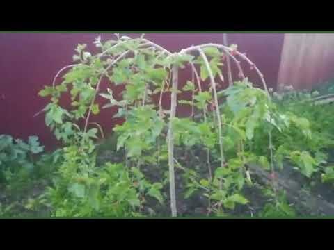 Первый урожай плакучей шелковицы🤗