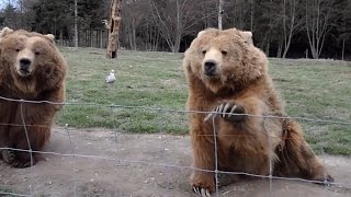 Grizzly Bear Waves To Camera Cute! Kodiak Bear