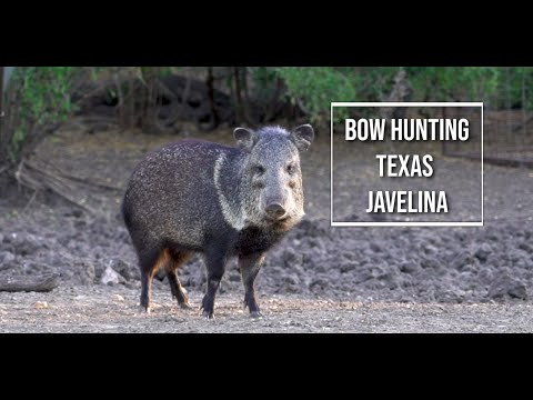 Bow Hunting Wild South Texas Javelina Boar