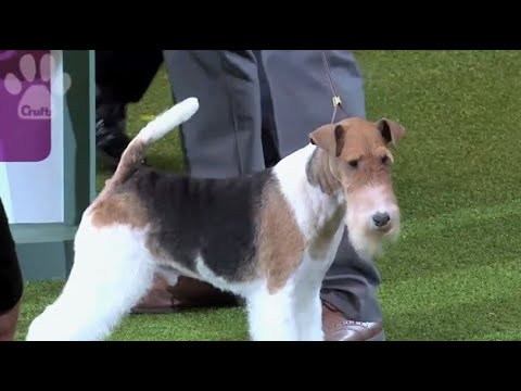 When King the Wire Fox Terrier won the Terrier group at Crufts 2014