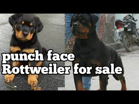 punch-face-rottweiler-for-sale