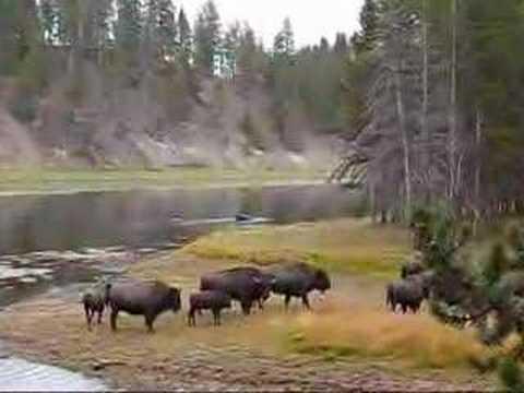 Bison running in Yellowstone