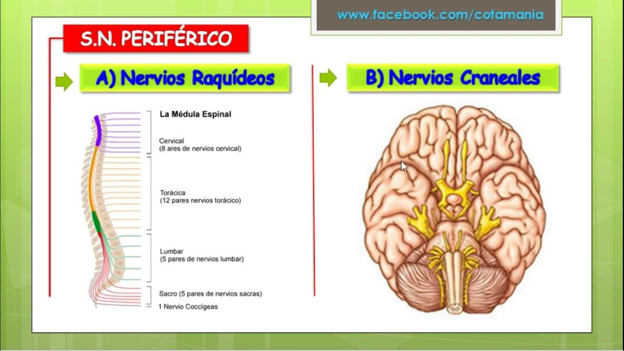 sistema nervioso periferico - YouTube
