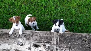 Джек Рассел терьер очаровательные щенки