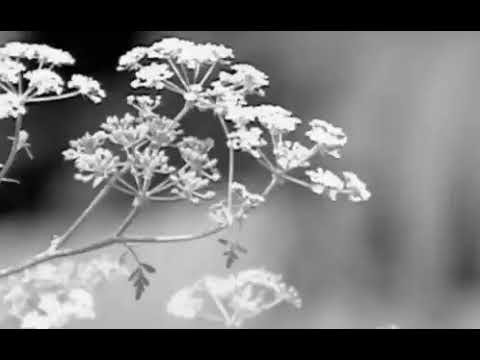 Poison hemlock, a deadly weed, is blooming across Ohio. How to ...