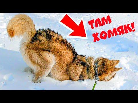 ИЩЕМ СНЕЖНЫХ ХОМЯЧКОВ!! (Хаски Бублик) Говорящая собака