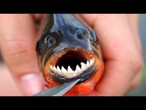 Что Будет Если к Пираньям Подселить Двух Крабов NEMAGIA / Crab vs Piranha