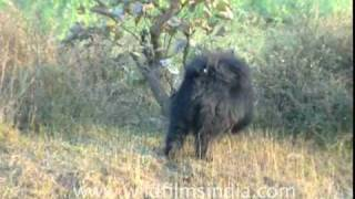Bhago Bhalu aaya!!!! A Sloth Bear in the wild!