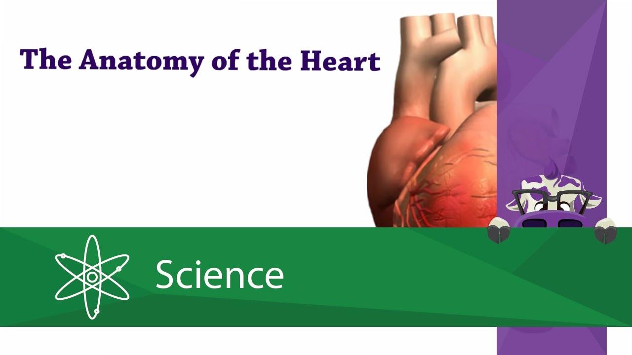 Anatomy of the Heart - YouTube