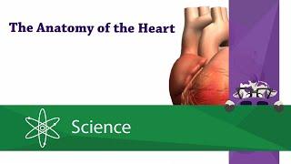 Anatomy of the Heart Mp3