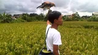 carly falconry-bond the brahminy kite soaring by a