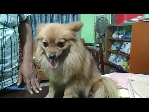 Pomeranean Dog : Khulna Pet Care Service @ Dr. Sagir's Pet Clinic 01912251312