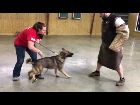 Super Sweet Sable German Shepherd 'Nic' 22 Mo's Protection Obedience Trained Dog For Sale