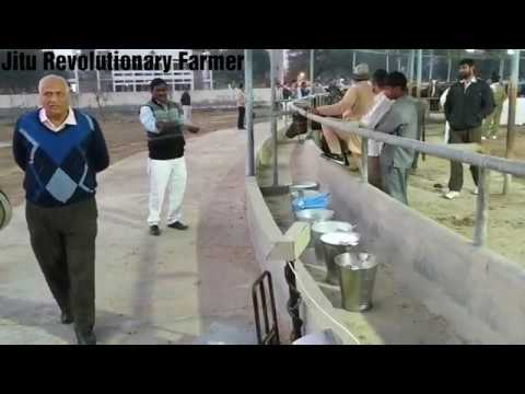 BUFFALO- MILKING COMPETITION - CIRB HISAR on 1.2.2018. Best Buffaloes @ CIRB.