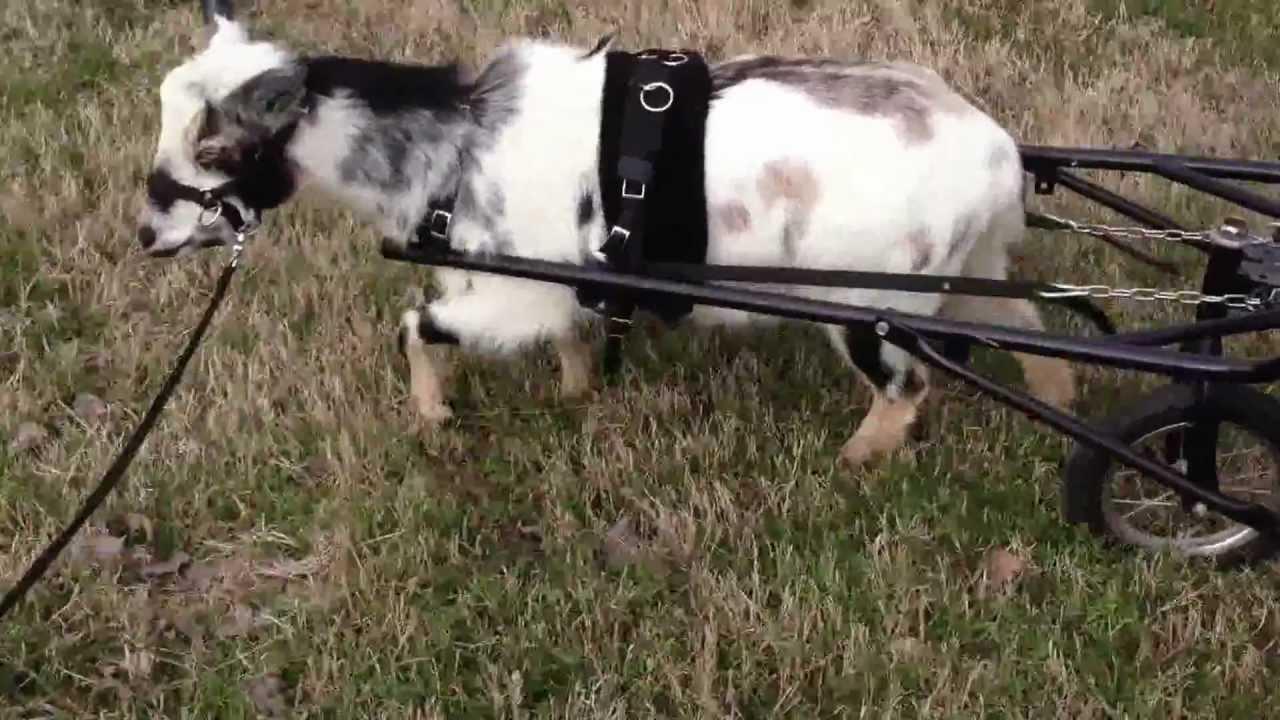 nigerian dwarf goat norman rockwell pulling a cart