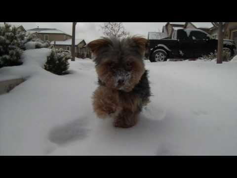 Teacup Yorkie playing in the snow