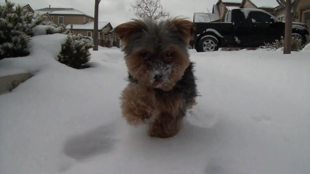 Teacup Yorkie Playing In The Snow Youtube