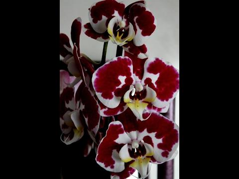 Пересадки орхидеи фаленопсис: правила пересадки, этапы
