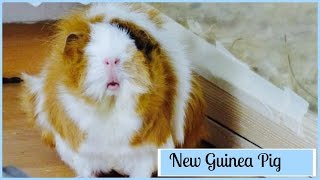 Vlog: Getting A New Guinea Pig