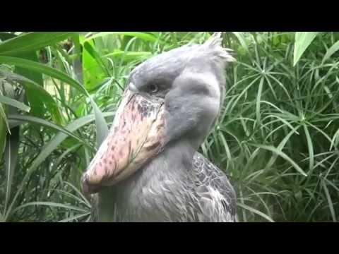 Shoebill (Balaeniceps rex) Prague Zoo מנעלן