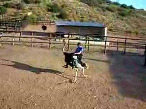 Ostrich riding in Africa