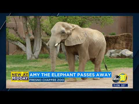 Fresno Chaffee Zoo announces that Amy, the African elephant, has died