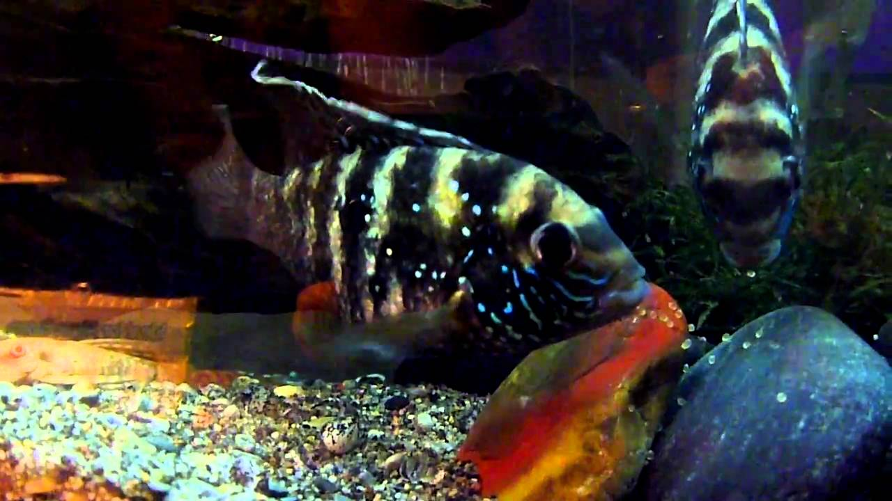 Blue Acara Cichlid, Aequidens pulcher Cichlid Fish Guide