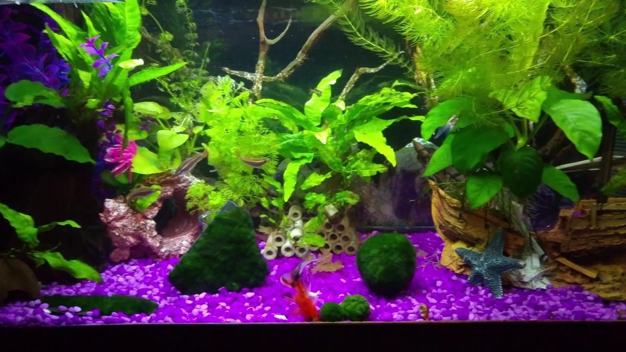 acuario plantado agua fria goldfish albonubes borneos On cuidados acuario agua fria