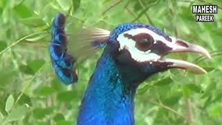 NATIONAL BIRDS PEACOCK राष्ट्रीय पक्षी मोर का सुन्दर नृत्य एक बार देखेंगे महेश कुमार पारीक