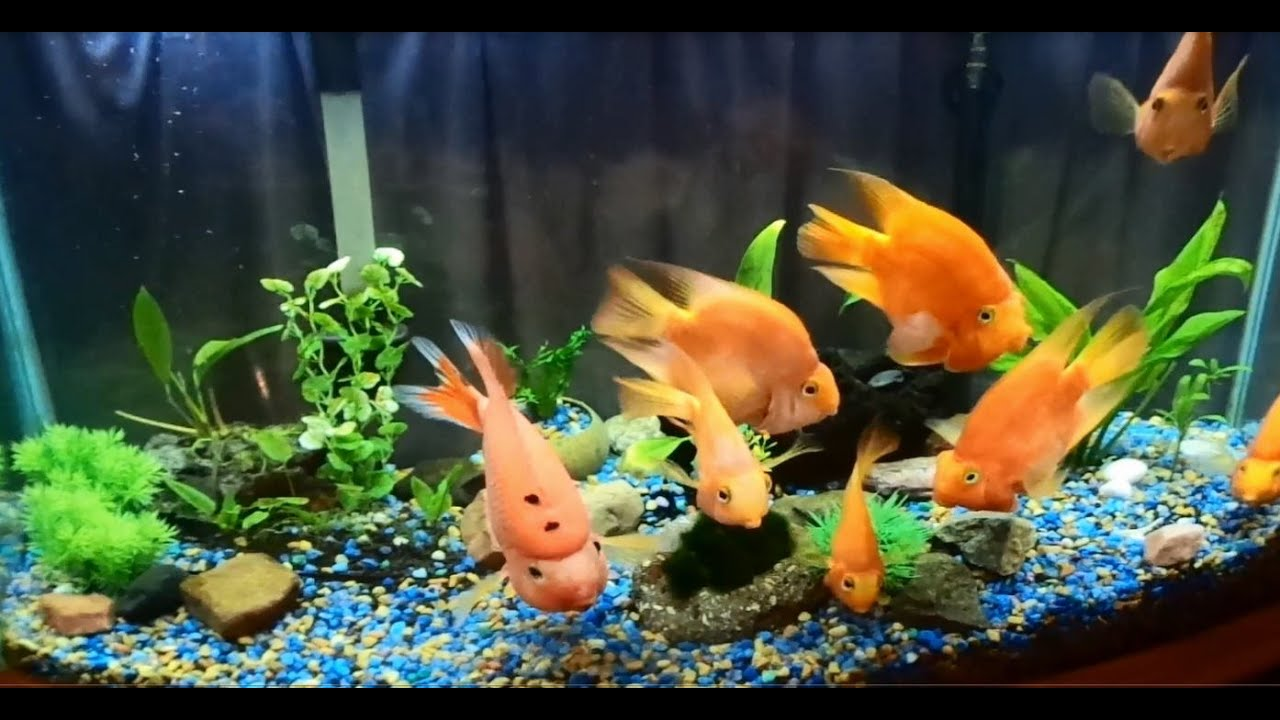 Fish in new aquarium - My Beautiful Blood Red Parrots New Aquarium Decorations