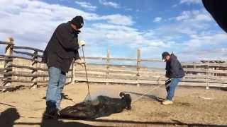 Branding and Castrate male Cattle
