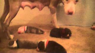Max & 4 Day Old Puppies - American Pit Bull Terrier Puppies