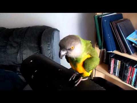 Rodney (senegal Parrot) Talking