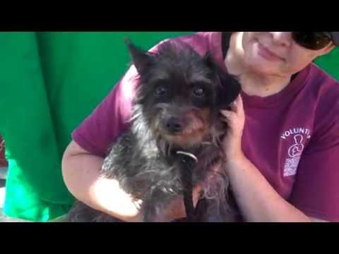 A4994889 Molly | Miniature Schnauzer/Cairn Terrier