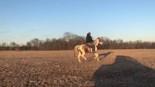 Bella, super broke red roan tobiano gaited mare. Neck reins , lopes and smooth gaited