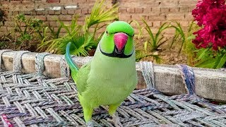 amazing talking parrot