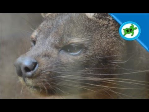 Meeting Madagascar's Top Predator!