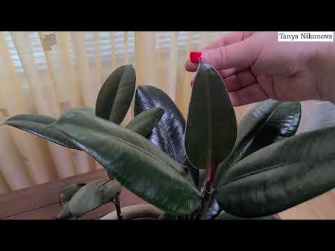 Новые листья у ФИКУСА распускаются каждую неделю.  Все дело  в подкормках и поливе.