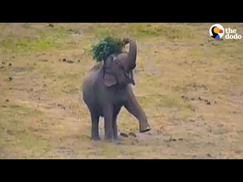 Rescued Elephants Play With Donated Christmas Trees