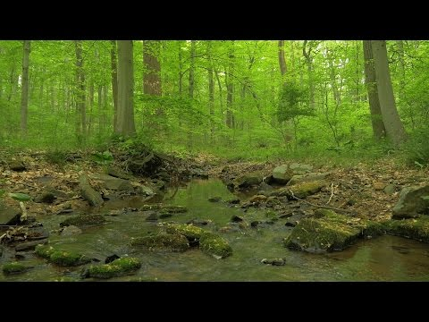 90 Minutes of Woodland Ambiance ( Nature Sounds Series #9 ) Trickling Stream & Bird Sounds