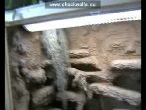 chuckwalla vivarium