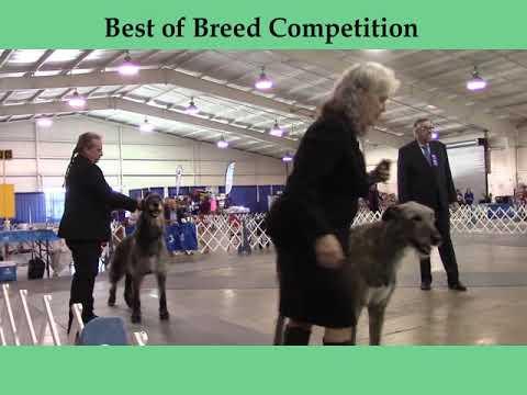 3-22-2019 Jackson TN Dog Fanciers Association - Irish Wolfhounds