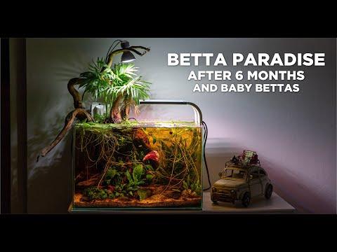 Low-tech Nano BETTA PARADISE After 6 Months - BIG Update And Baby Bettas