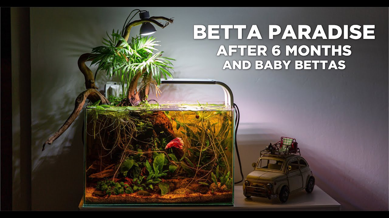 Low Tech Nano Betta Paradise After 6 Months Big Update And Baby Bettas Youtube