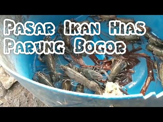 Cari ikan predator di pasar ikan hias parung bogor 2018